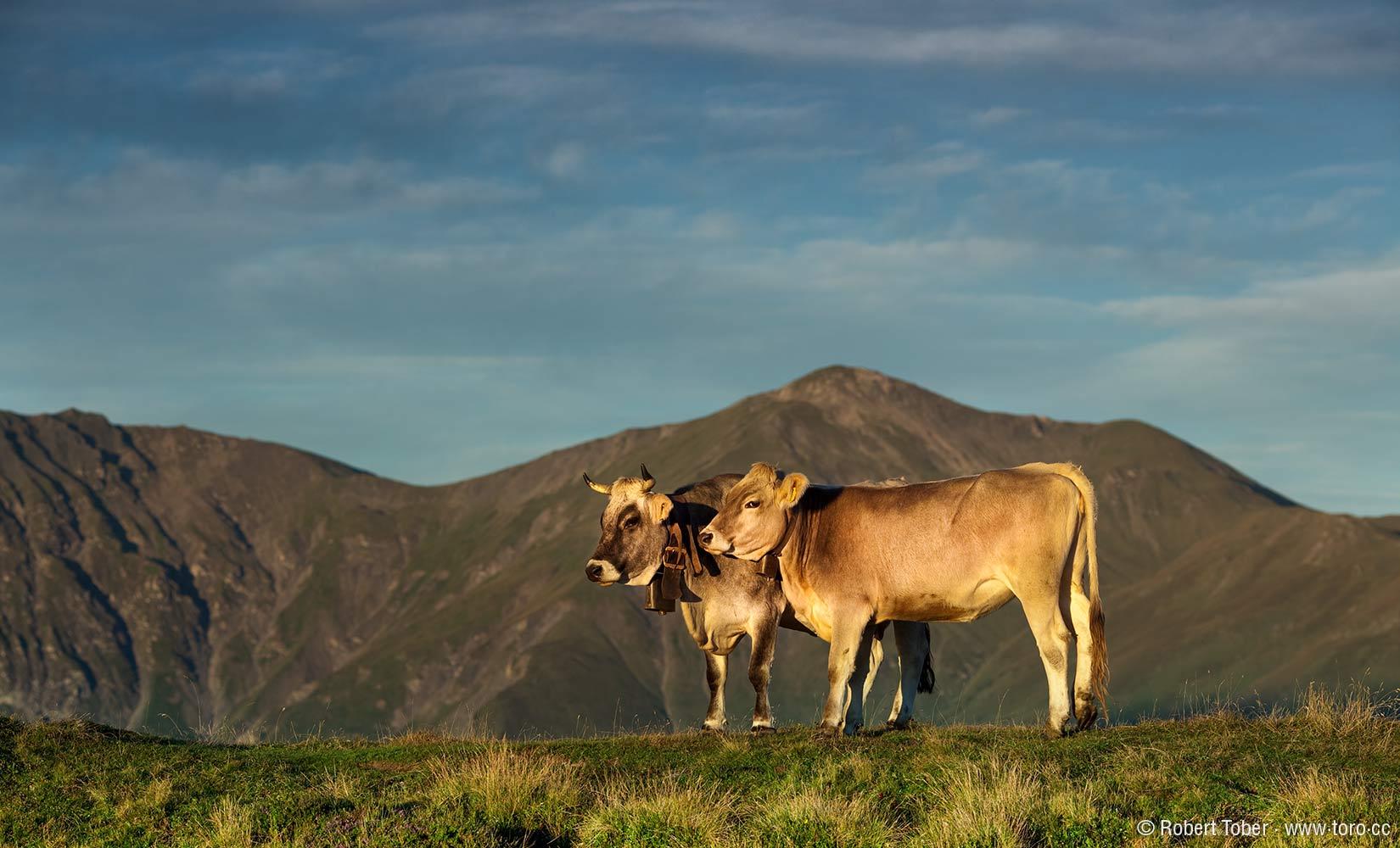 Kuh und Bulle in den Alpen @ Robert Tober